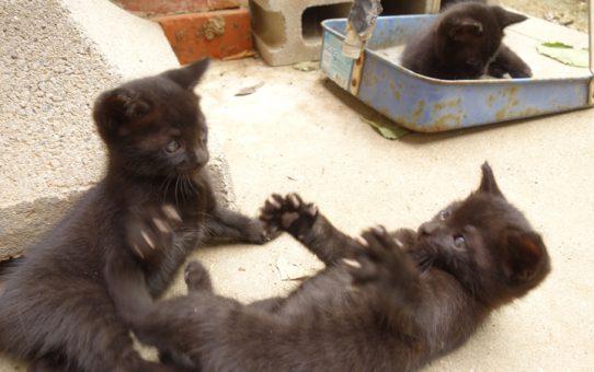 里親募集。野良ネコの子4匹(黒ネコ)の里親さんの依頼を受けました。